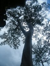 Angkor Tree