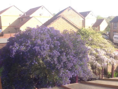 Ceonothus and Wisteria