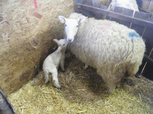Brigg Lamb Sculpt (5)