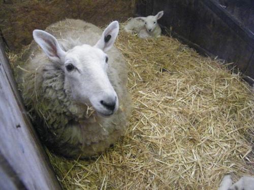Brigg Lamb Sculpt (8)