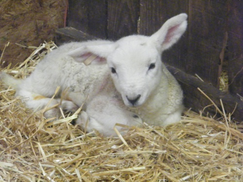 Brigg Lamb Sculpt (9)
