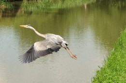 Heron takes flight on the Gand Union Canal