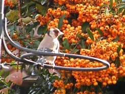 Autumn Gold Finch
