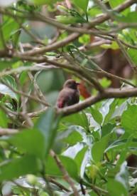 Red Billed Firefinch