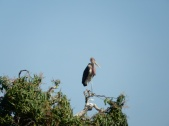 Maribu Stork