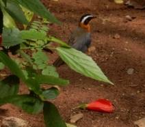 White Browed Robin Chat