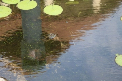 Floating Frog