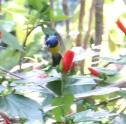 Variable Sunbird in flight
