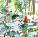 Variable Sunbird in flight