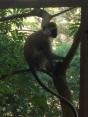 Vervet Monkey in the Tree