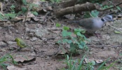 Mourning Dove and White Bellied Canary