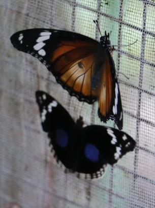 Hipolimnas Misippus Female and Dark Blue Pansy