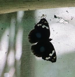 Dark Blue Pansy