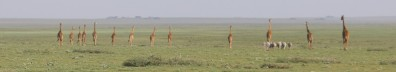 Giraffes on the Plain