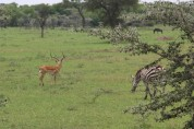 Impala and Zebra