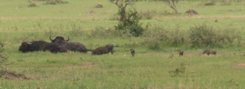 Buffalo and Warthog