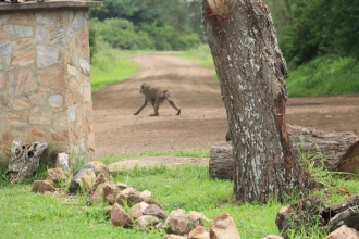 Baboon at the gate