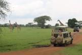 Giraffes in context