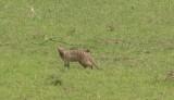 Striped Mongoose