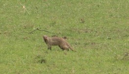 Striped Mongoose
