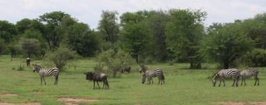 Wildebeest and Zebra