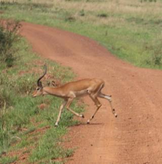 Impala Crossing
