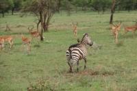 Zebra and Impala