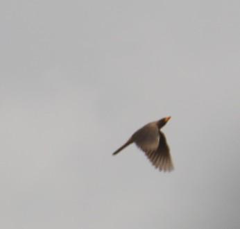 Red BilledOxpecker in Flight