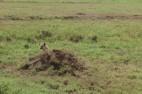 Hyena discovered
