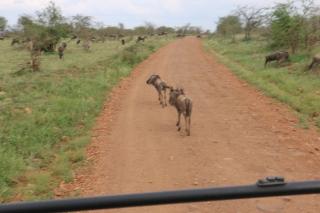 Wildebeest on the road