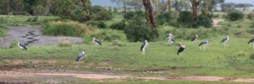 Marabou Stork in the wild