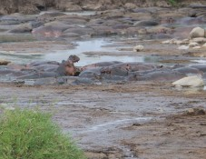 Hippos Gaping