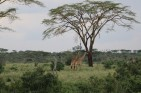 Distant Giraffe