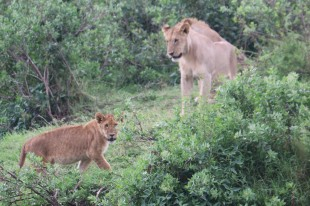 Cub and Lioness
