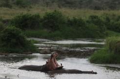 Hippo Gape