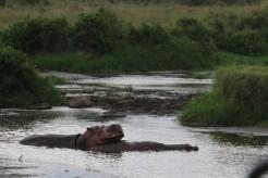 Hippos