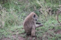 Black Faced Monkey