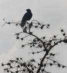 Splendid Glossy Starling