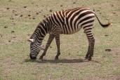 Zebra close
