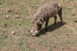 Warthog close