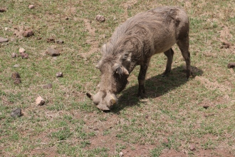 Warthog close
