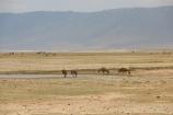 Crater with Wildebeest