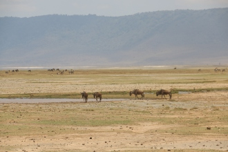 Crater with Wildebeest