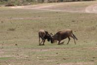 Fighting Wildebeest