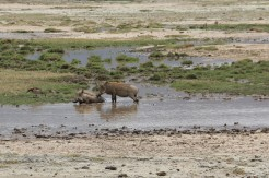 Warthog in pool