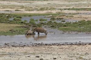 Warthog in pool