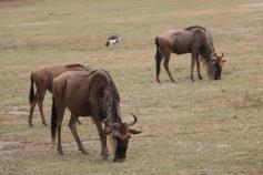 Black Crowned Crane and Wildebeest