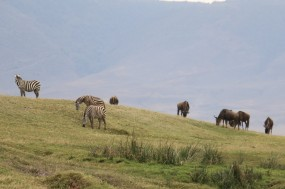 Zebra and Wildebeest on hill