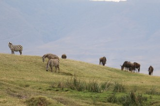 Zebra and Wildebeest on hill