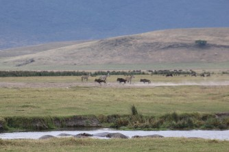 Hippos, Wildebeest and Zebra